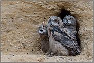 drei Jungvögel... Europäischer Uhu *Bubo bubo*