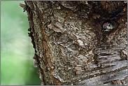gut verborgen... Grünspecht *Picus viridis*