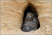 Aufregung in der Nisthöhle... Europäischer Uhu *Bubo bubo*