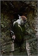 beim Verlassen der Nisthöhle... Grünspecht *Picus viridis*