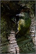 Jungvogel beim Verlassen der Bruthöhle... Grünspecht *Picus viridis*