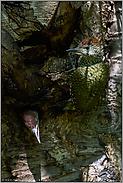 endlich flügge... Grünspecht *Picus viridis*