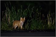 Augen auf im Straßenverkehr...  Jungfuchs *Vulpes vulpes*