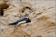 seitlich vor der Bruthöhle sitzend... Uferschwalbe *Riparia riparia*