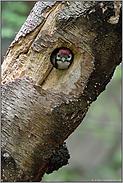 kreisrunde Bruthöhle... Buntspecht *Dendrocopos major*