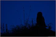 in dunkler Nacht... Europäischer Uhu *Bubo bubo*