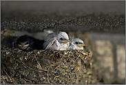 wartend im Nest... weisse Rauchschwalbe *Hirundo rustica*