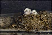 zu viert im Nest... Rauchschwalbe *Hirundo rustica*