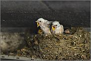 weiße Schwalben im Nest... Rauchschwalbe *Hirundo rustica*