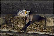 die Fütterung... weisse Rauchschwalbe *Hirundo rustica*