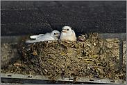 weiße Schwalben... Rauchschwalbe *Hirundo rustica*