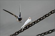 der Anflug... Rauchschwalbe *Hirundo rustica*