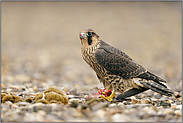 Jungfalke... Wanderfalke *Falco peregrinus*