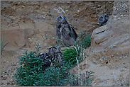 Überflug der Baumfalken... Europäischer Uhu *Bubo bubo*