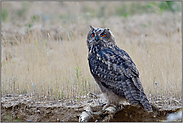 ein Jungvogel - man beachte die Krallen... Europäischer Uhu *Bubo bubo*
