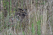 versteckt im hohen Gras... Europäischer Uhu *Bubo bubo*