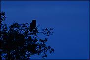 nächtlicher Ansitz im Baum... Europäischer Uhu *Bubo bubo*