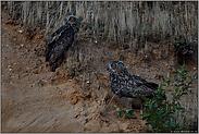 Männchen und Weibchen... Europäischer Uhu *Bubo bubo*