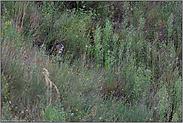 verborgen im Gebüsch... Europäischer Uhu *Bubo bubo*