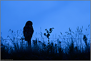 nächtlicher Jäger in Feld und Flur... Europäischer Uhu *Bubo bubo*