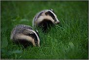 zwei im Gras... Europäischer Dachs *Meles meles*