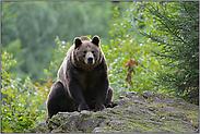 Brummbär... Europäischer Braunbär *Ursus arctos*