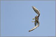 Flugkünstler... Wanderfalke *Falco peregrinus*