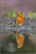 Altvogel an der Tränke... Rotkehlchen *Erithacus rubecula*