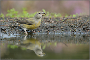 auch ein Jungvogel... Fichtenkreuzschnabel *Loxia curvirostra*