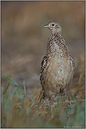 ein Laufvogel... Fasanenhenne *Phasianus colchicus*