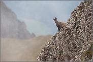 Bergziege... Alpensteinbock *Capra ibex*