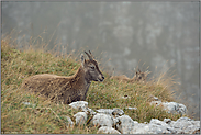 ruhend... Alpensteinböcke *Capra ibex*