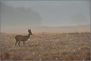 frühmorgens auf der Heide... Reh *Capreolus capreolus*