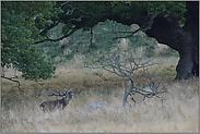 unter mächtigen Eichen... Rotwildbruft *Cervus elaphus*