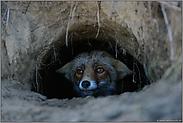im Fuchsbau... Rotfuchs *Vulpes vulpes*