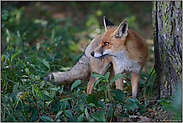 im Wald... Rotfuchs *Vulpes vulpes*