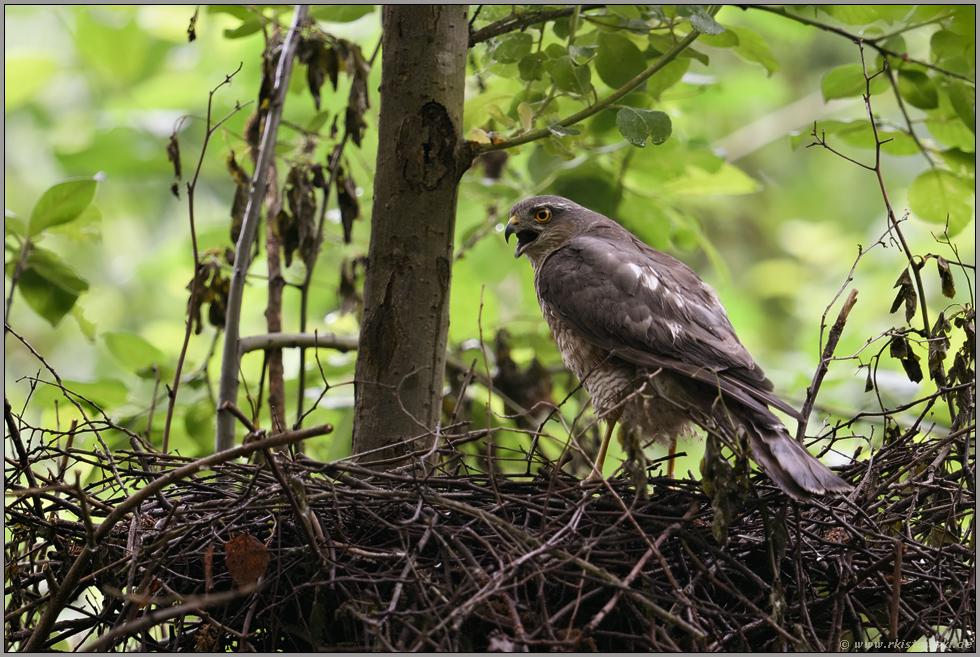 energisch... Sperber *Accipiter nisus* warnt am Nest