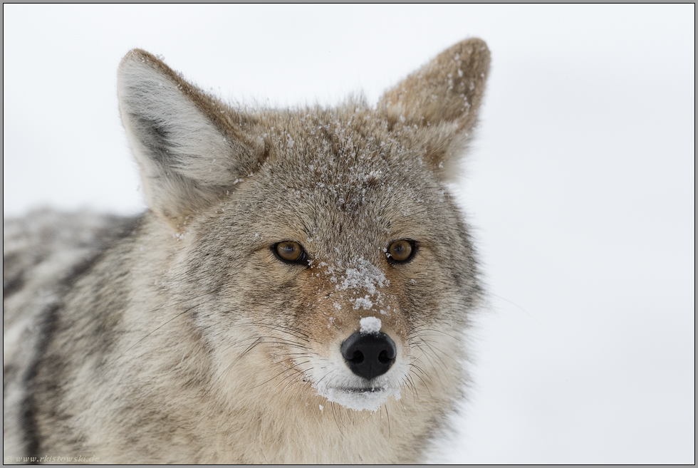 der Blick des Kojoten... Kojote *Canis latrans*, Yellowstone National Park, USA
